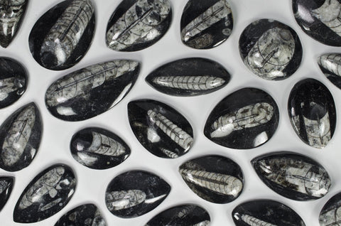 Polished Orthoceras