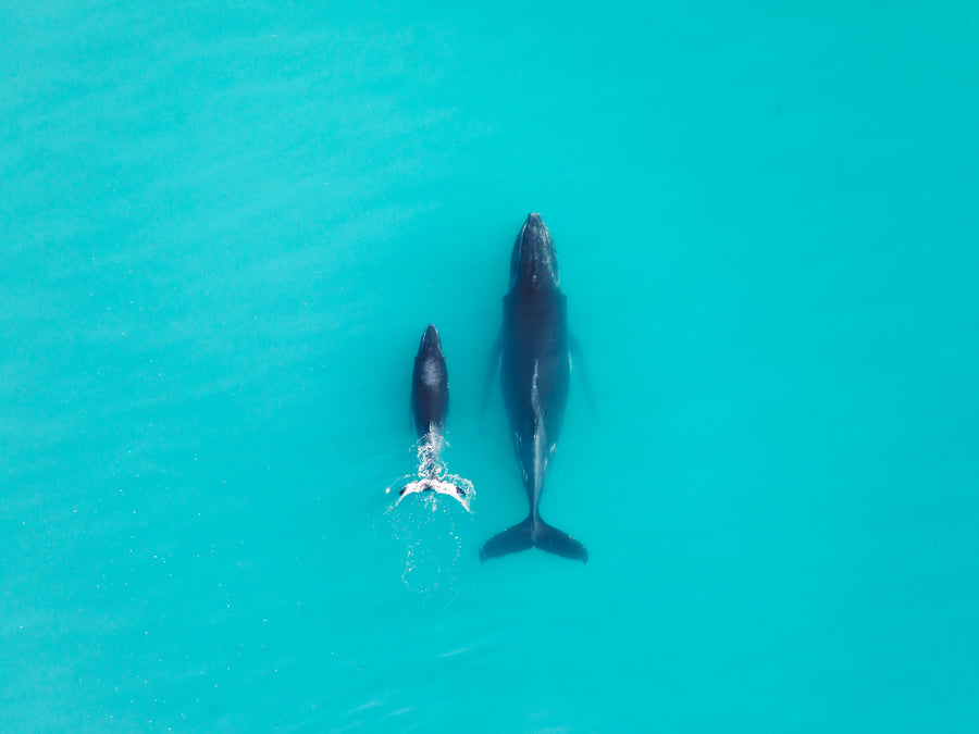salty wings whale karratha dampier archipelago dolphin pilbara helicopter