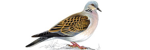 Amazing News - Turtle Doves RSPB Collaboration
