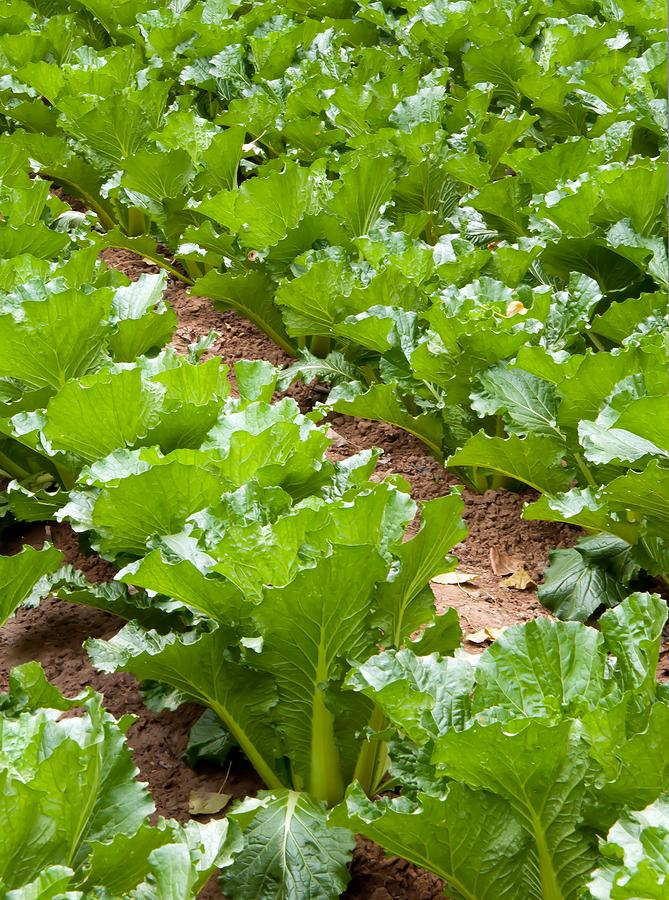 Plant  July /August in Your Vegetable Garden for fall harvest