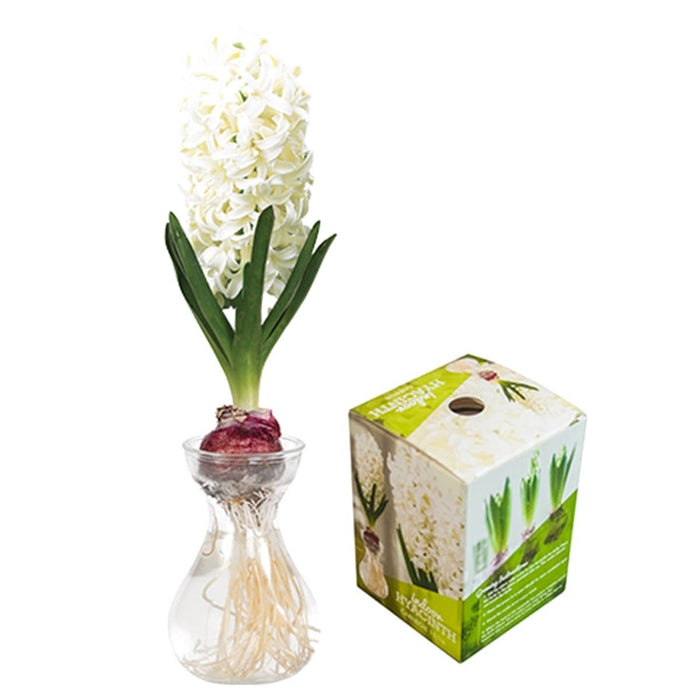 Hyacinth Bulb Forcing Kit -(Clear Glass Vase w/ Hyacinth Bulb ) Great gift - Caribbeangardenseed