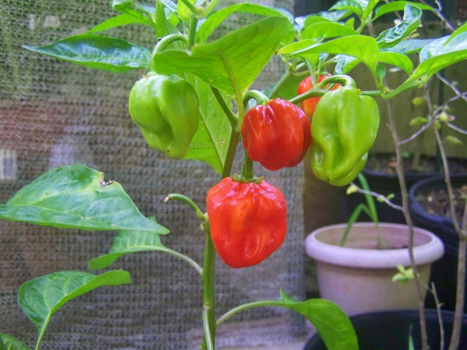 Barbados Hot Pepper Seeds, Capsicum chinense.Heirloom from Barbados.,Very hot - Caribbeangardenseed