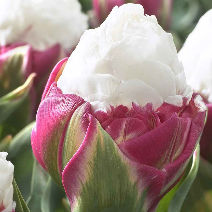 ICE CREAM  Tulip Bulbs),12/+cm, Excellent for Bouquets Flowers - Caribbeangardenseed