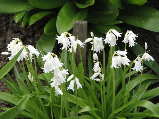 HYACINTHOIDES HISPANICA - WHITE (BULBS)A.K.A Wood Hyacinth or Spanish Bluebells - Caribbeangardenseed