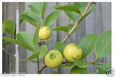 25 TROPICAL GUAVA PLANT SEED(Psidium Guajava) Fruit Tree Shrub-Perennial ! - Caribbeangardenseed