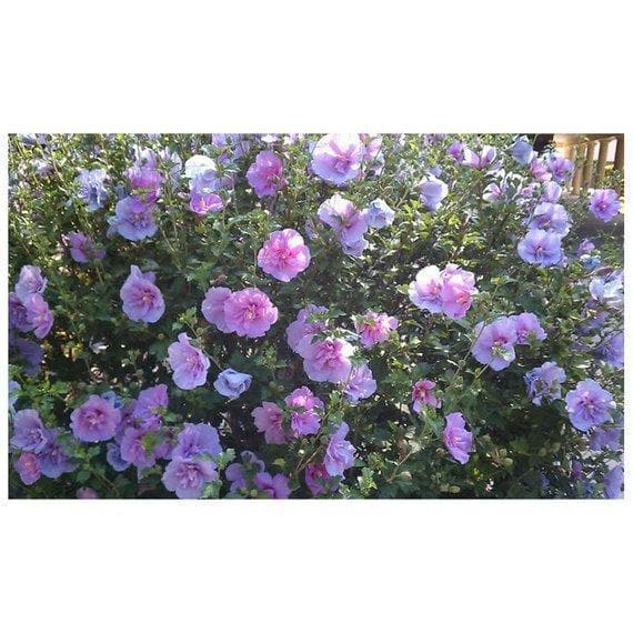 25 Rose of Sharon Seeds,HIBISCUS,cold hardy,flowering Shrub - Caribbeangardenseed