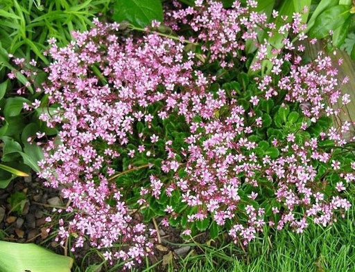 SAXIFRAGA umbrosa 'Elliott's Variety' Seeds, Succulent ,Perennial Groundcover . - Caribbeangardenseed