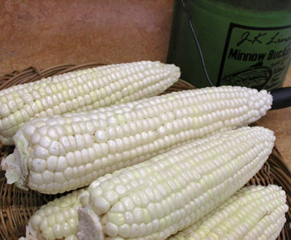 Stowell's Evergreen Sweet Corn (O.P.Open pollination) Corn Seed Heirloom - Caribbeangardenseed