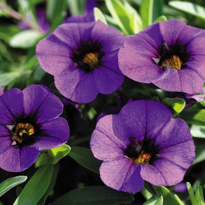 Calibrachoa Kabloom Deep Blue - flowers seeds -The first Calibrachoa from seed - Caribbeangardenseed