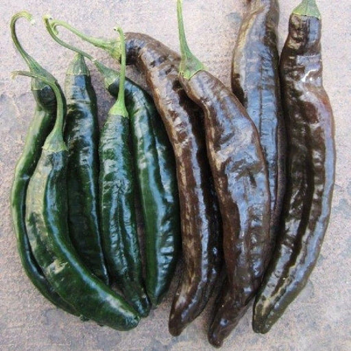 Pasilla Bajio Chile Chilaca Pepper Seeds Heirloom - Caribbeangardenseed