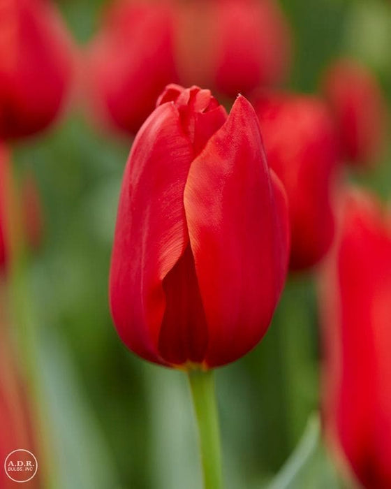 "Tulip Bulbs ""teddy kollek"" Single Late,Shipping Now - Caribbeangardenseed"