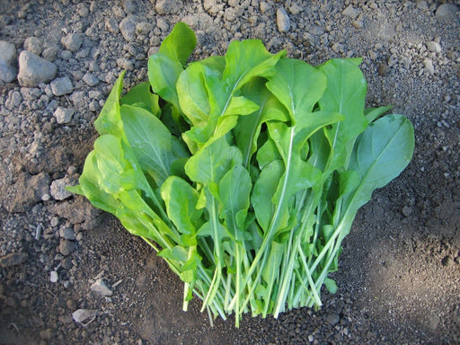 ARUGULA Rocket  Herb Seed ,Heat Tolerant. Edible Flowers , Asian Vegetable - Caribbeangardenseed