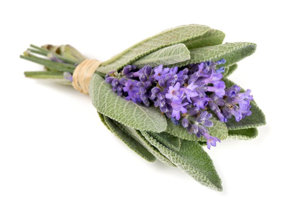 Broadleaf Sage  Seeds (Salvia Officinalis ) Perennial Herb - Caribbeangardenseed