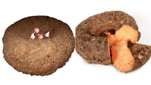 Elephant Foot Yam Tuber Tropical Root Vegetable Caribbeangardenseed