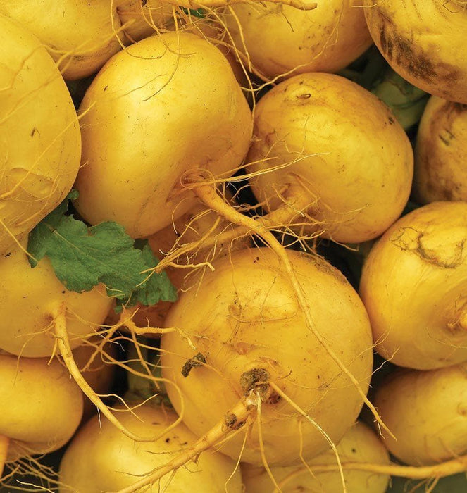 Golden Ball OpenTurnip seeds Open Pollinated Turnip, Heirloom Seeds - Caribbeangardenseed