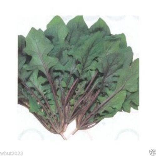"Spinach Seeds""Akarenso"" (Asian Greens) Open Pollinate, Full grown or baby leaf, Asian Vegetable - Caribbeangardenseed"
