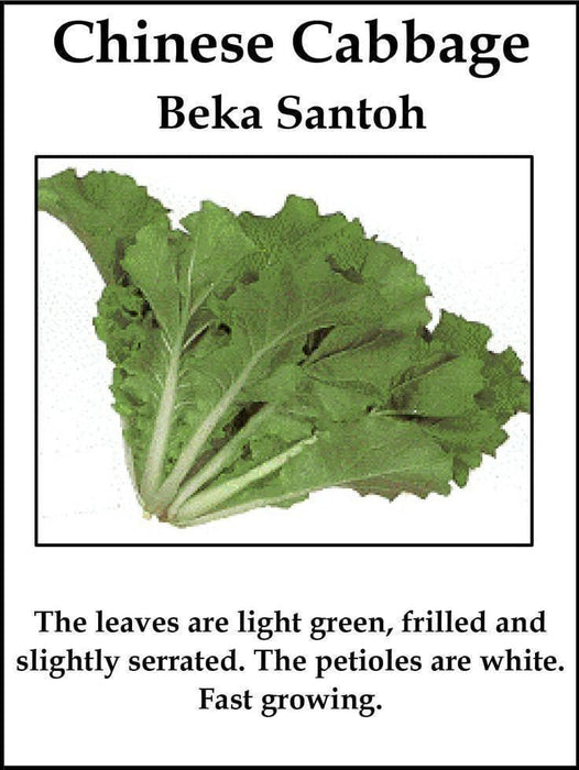 "Chinese Cabbage""Beka Santoh""Chinese Cabbage , Loose Head Type, Asian Vegetable, - Caribbeangardenseed"