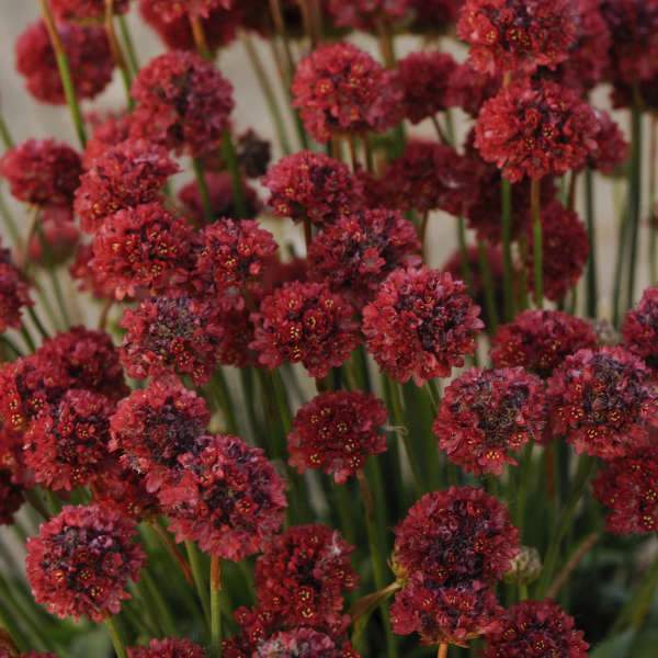ARMERIA 'Ballerina RED' - Flowers Seeds - False Sea Thrift, Perennial - Caribbeangardenseed