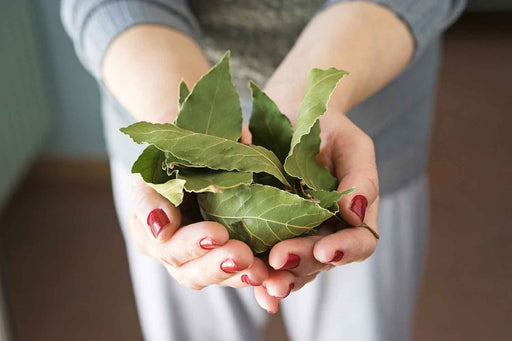 Dry bay leaf , Use in ,jamaican and caribbean dishes - Caribbeangardenseed