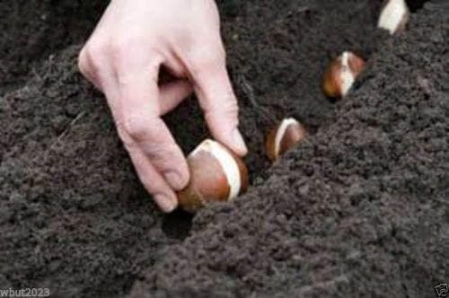 10 TULIP Bulb,Match, cream bases and luscious pink-red tips. Great for borders - Caribbeangardenseed