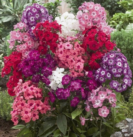 3 Giant Hardy Phlox Mix,Summer Phlox - (Plant/ Root) Now Shipping - Caribbeangardenseed