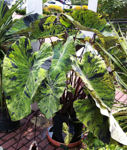 Elephant Ear Colocasia 'Mojito'Bulb - Give your garden a tropical look this year, - Caribbeangardenseed