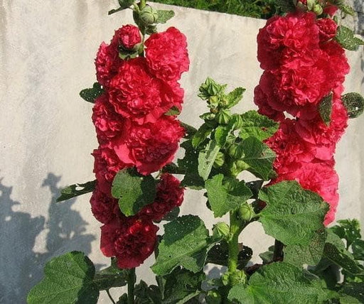 Hollyhock Plant, Red-Double, (2 plants/roots)  Great cut flower, Attracts butterflies, Attracts hummingbirds, Alcea rosea. - Caribbeangardenseed