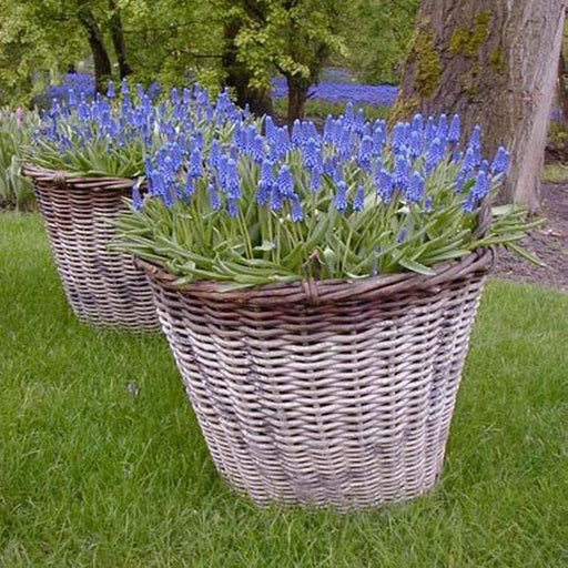 Muscari Armeniacum Bulbs (Grape Hyacinths) perennial - Caribbeangardenseed