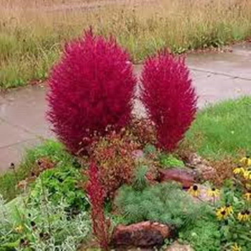 Burning Grass Seeds - Kochia Scoparia  - RED ,Ornamental Grass - Caribbeangardenseed