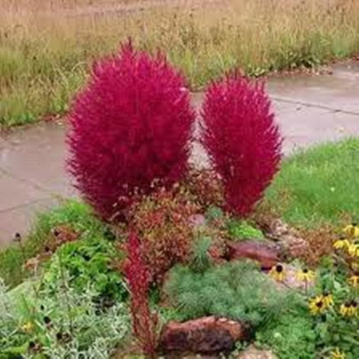 Burning Grass Seeds Kochia Scoparia Red Ornamental Grass