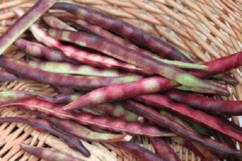 Mississippi Purple Southern PEA (Brown crowder, )  A  Peas,Great Flavor, Shell pea - Caribbeangardenseed