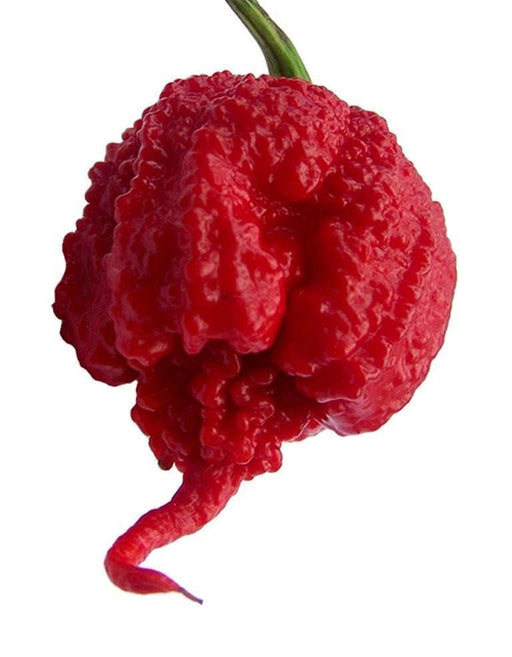 Carolina Reaper Pepper Seeds -Super Hot Chilli (Capsicum chinense) World's Hottest Pepper - Caribbeangardenseed