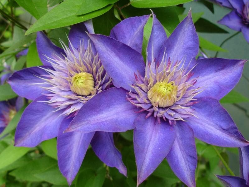 Clematis 'Multi Blue' (Dormant Bare Root) Early to midseason flowering & rebloomers,Perennial - Caribbeangardenseed