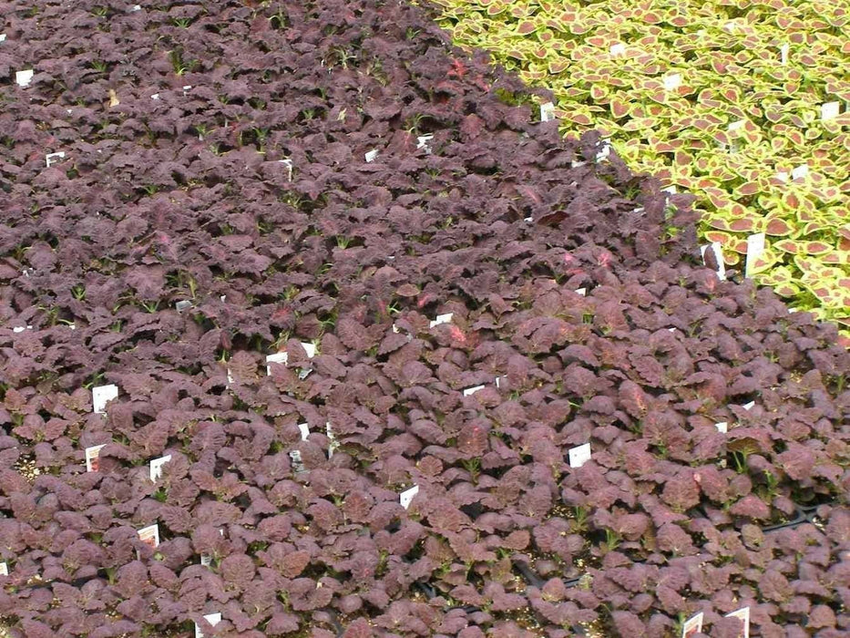 Coleus Seeds-Black Dragon-Intense Color,very Showy,Perfect for adding some intense color into the shade border,Shade Loving, foliage plant - Caribbeangardenseed