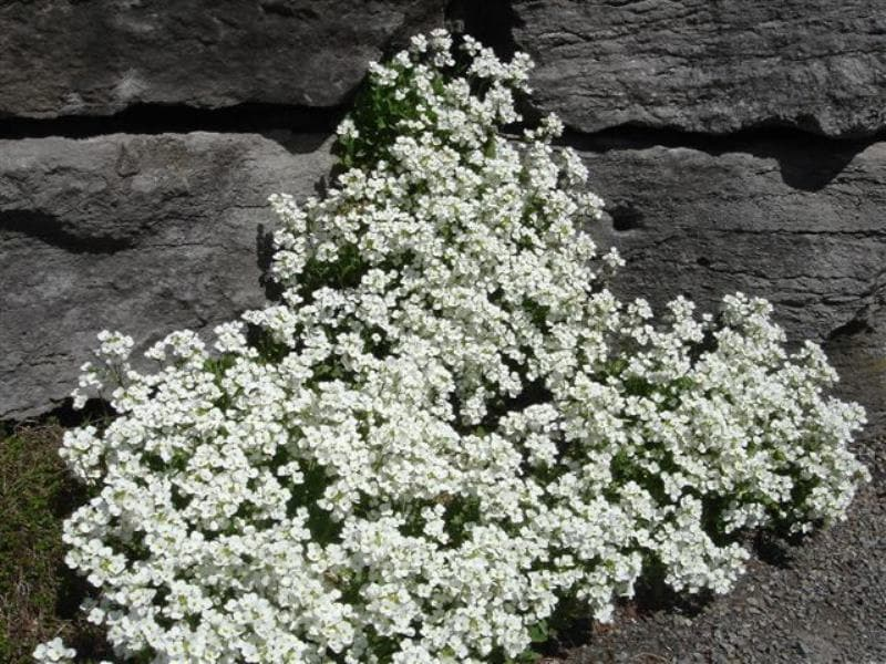 Wall Rock Cress Flowers seed- Arabis -  perennial ground cover - Caribbeangardenseed