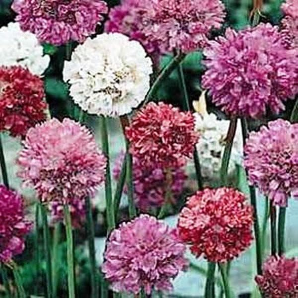 Armeria Maritima Joystick- Mixed  seeds- Drumstick Thrift-Great for cut flowers, Perennial - Caribbeangardenseed