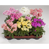 LEWISIA Cotyledon-Hybr. [ELISE] Award WinnerFlowers Seeds,),Great In Container, Perennial. - Caribbeangardenseed