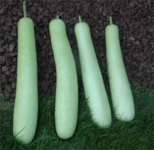 Edible bottle gourd Extra long (Asian vegetable) Gourd Seeds a.K.a BHIM - Caribbeangardenseed