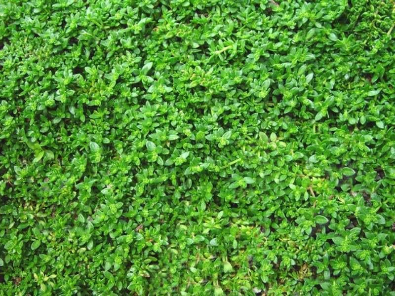 Herniaria Glabra Seeds - GREEN CARPET a.K.a Burstwort, Ground-Cover - Caribbeangardenseed