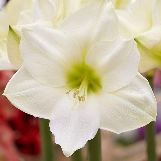 White Amaryllis Bulb ,grow indoors in the winter, Great Gift - Caribbeangardenseed