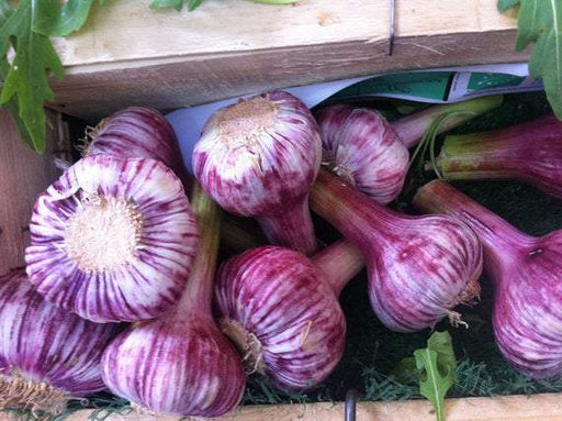 Russian Red garlic bulbs, (Hard-neck garlic ) - Caribbeangardenseed