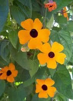 Blackeyed Susan vine (Thunbergia alata) SEEDS  HEIRLOOM- Gold - Caribbeangardenseed