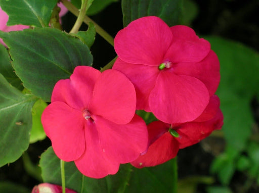 Impatiens Flowers Seeds (Impatiens Walleriana - Baby Carmine) probably one of the most sought after flowers in the United States - Caribbeangardenseed