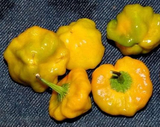 Jamaica Yellow mushroom Hot Peppers (Capsicum chinense) Fresh Organic Seeds, - Caribbeangardenseed