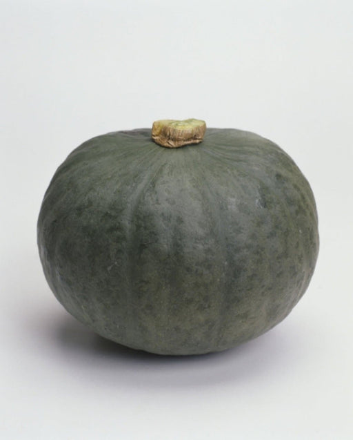 "Japanese Pumpkin Seeds "" Blue Kuri""(Cucurbita moschata) Winter Squash, Asian Vegetable - Caribbeangardenseed"