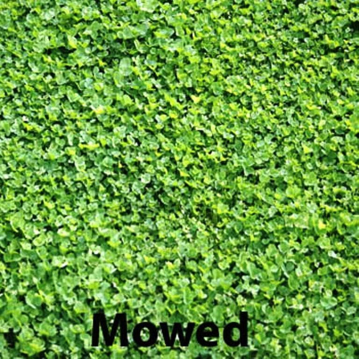 Miniclover Seeds,Lawn alternative,Cover crop ,Ground cover,Erosion control ! - Caribbeangardenseed
