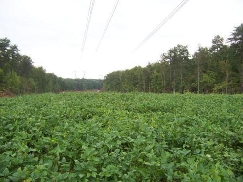 Iron and Clay Cowpea ,Southern Pea, Field Peas, Organically Grown ,Great cover crop - Caribbeangardenseed