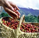 10 JAMAICAN BLUE MOUNTAIN Coffee Seeds ,Grow Your Own Coffee Plant tree - Caribbeangardenseed