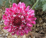 Pincushion Flower Seeds -Tall,Double,Scabiosa Mix, Red, White Blue, Purple, Rose - Caribbeangardenseed