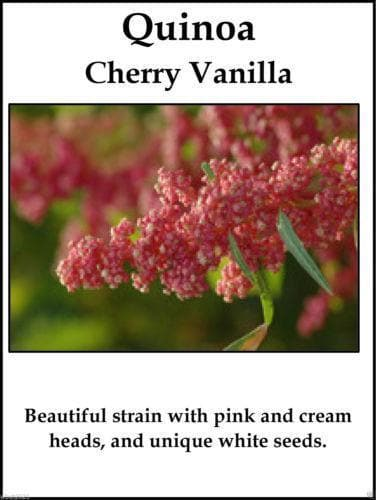 Quinoa Plant Seeds- cherry vanilla -Beautiful strain with pink and cream heads ! - Caribbeangardenseed